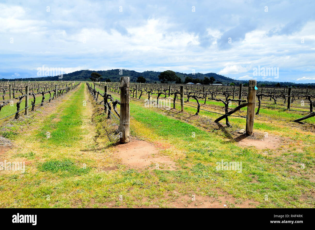 In the region of Mudgee, Australia. Beautiful view of growing vines during a dry spring. Contrasting colors with threatening cloudy sky and mountains - Stock Image