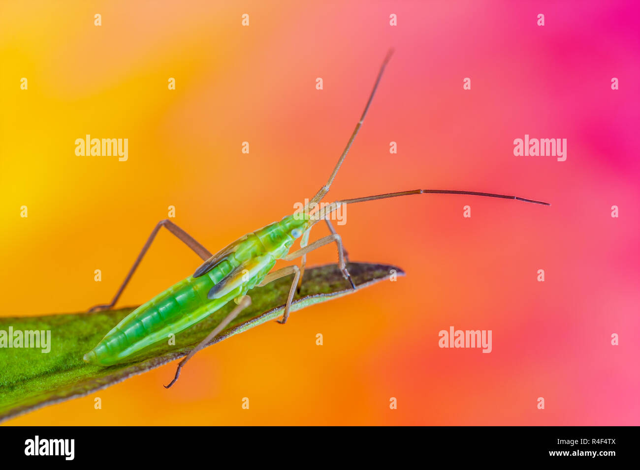 Very sharp and detailed study of an insect taken with a macro lens stacked from many images into one very sharp photo. - Stock Image