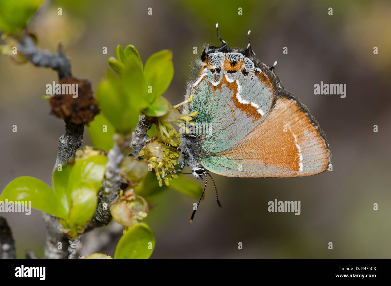Juniper Hairstreak, Callophrys gryneus, nectaring from New Mexico Olive, Forestiera pubescens Stock Photo