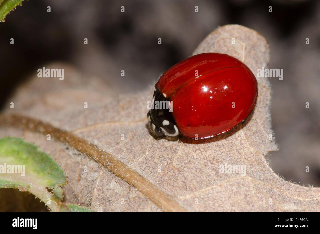 Spotless Lady Beetle, Cycloneda sanguinea, female Stock Photo