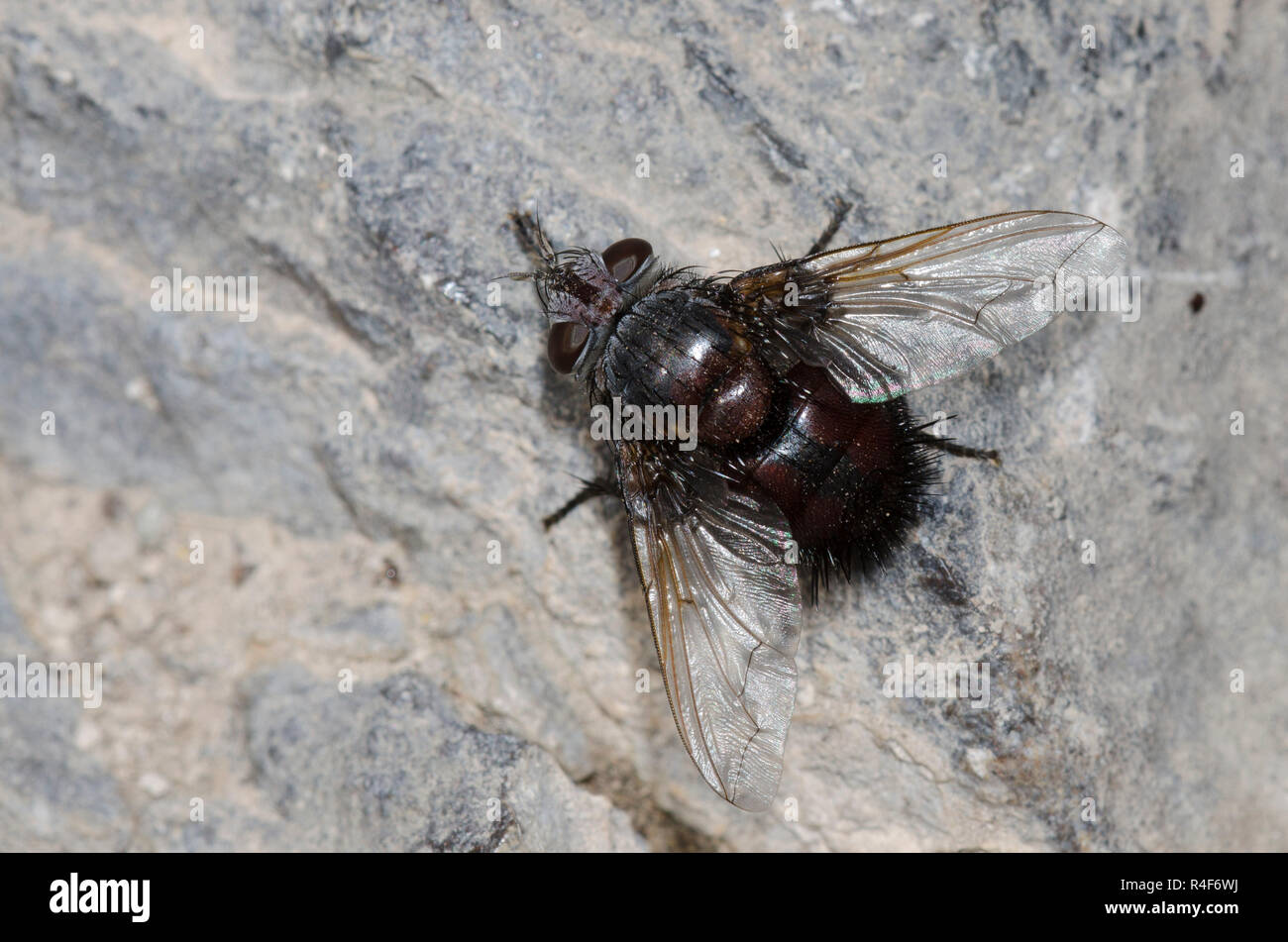 Tachinid Fly, Leschenaultia sp. Stock Photo