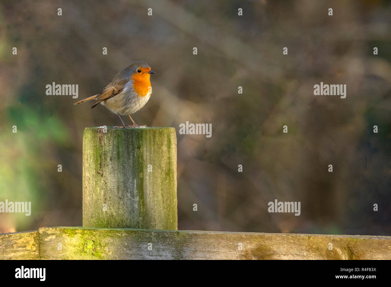 A robin (Erithacus rubecula) on a wooden post in low sunlight. - Stock Image