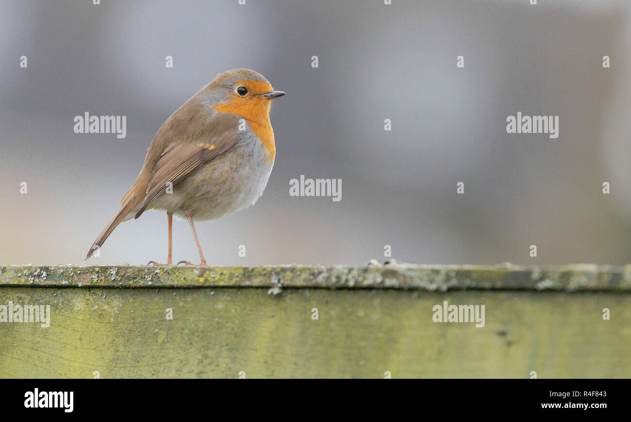 A robin (Erithacus rubecula) close up. - Stock Image