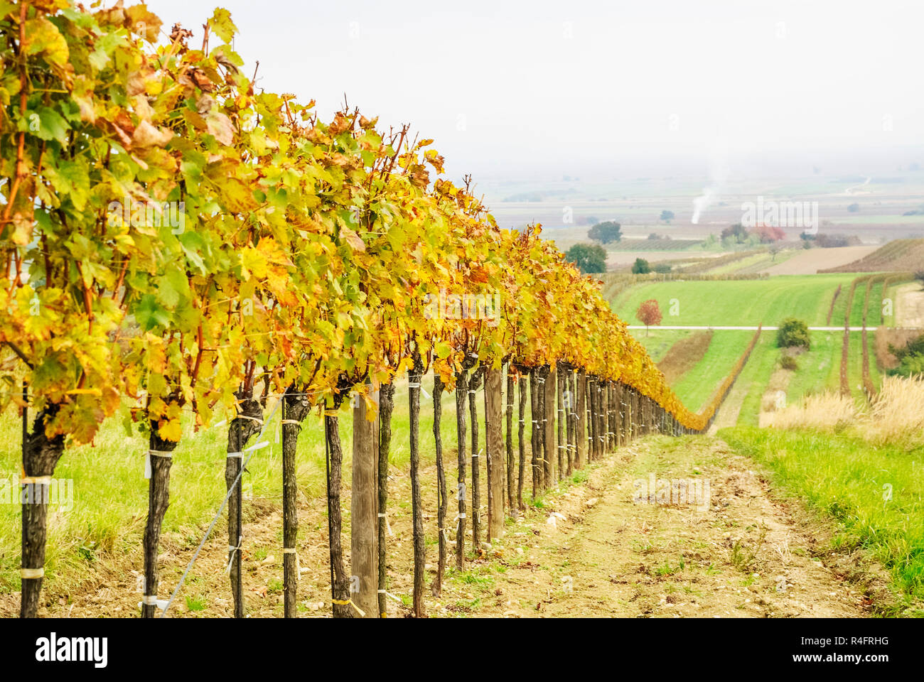 vine in the vineyard in winter Stock Photo