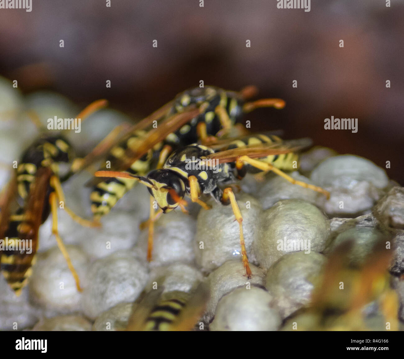 Wasp nest with wasps sitting on it. Wasps polist. The nest of a - Stock Image