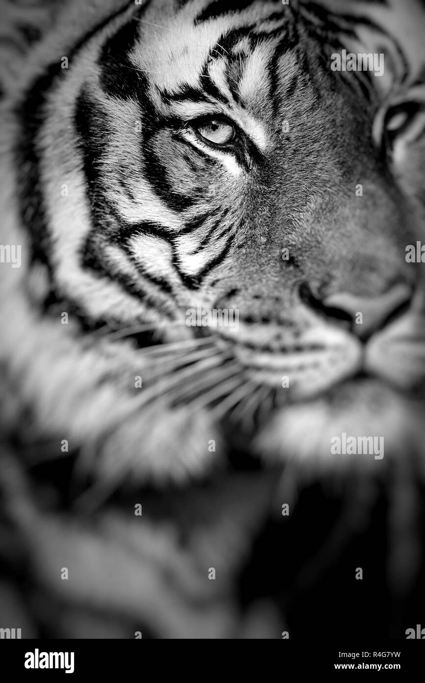 Close-up of a Tigers face.Selective focus. - Stock Image