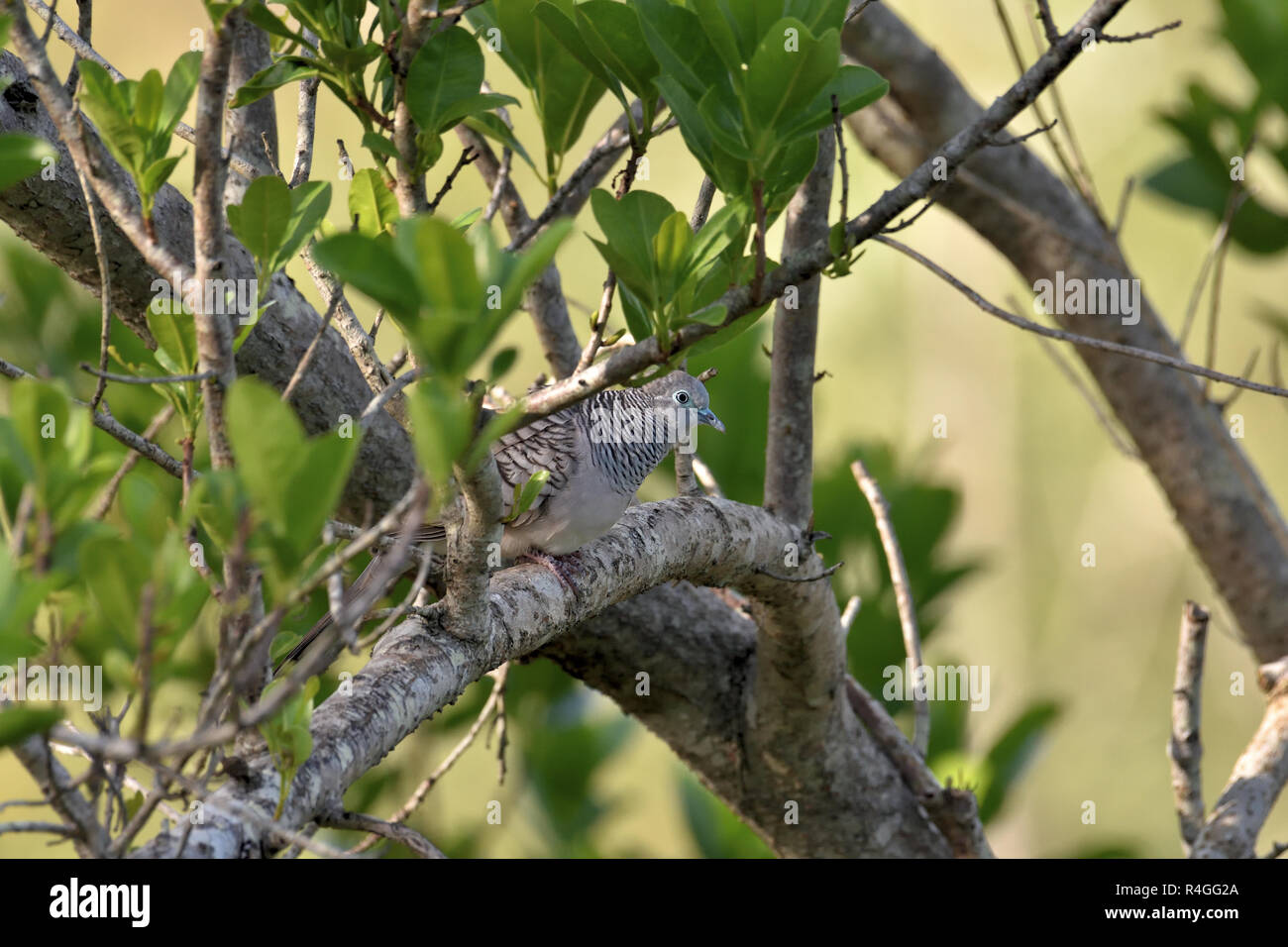An Australian, Queensland Peaceful Dove ( Geopelia striata ) well camouflaged perched in thick bush Stock Photo