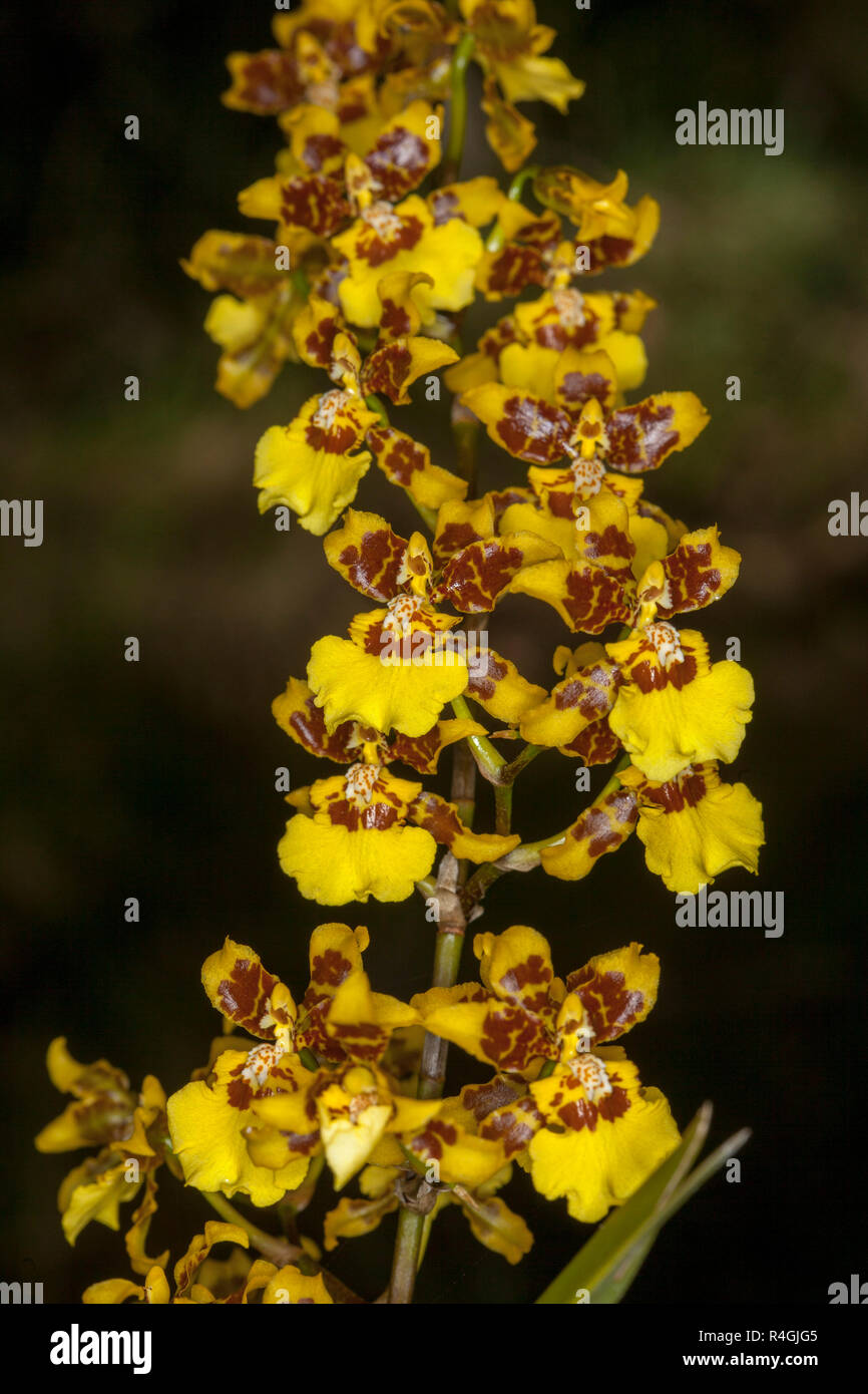 Brown And Yellow Living Room Decor: Tall Spike Of Yellow And Brown Flowers Of Oncidium Orchid