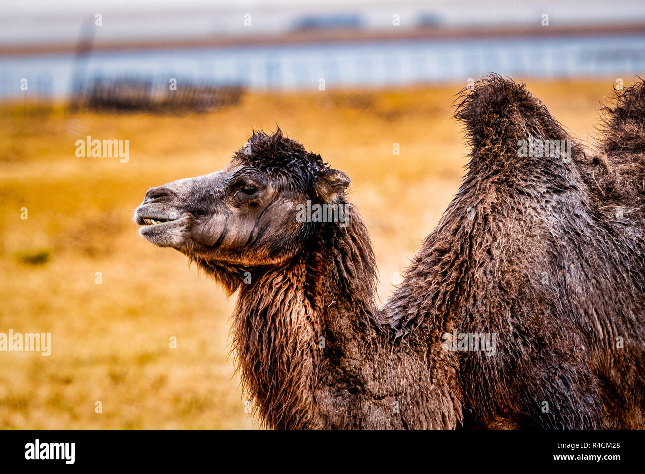 Wild Bactrian (Two Humps) Camels of Hulun Buir Grassland during Autumn in Inner Mongolia, China - Stock Image