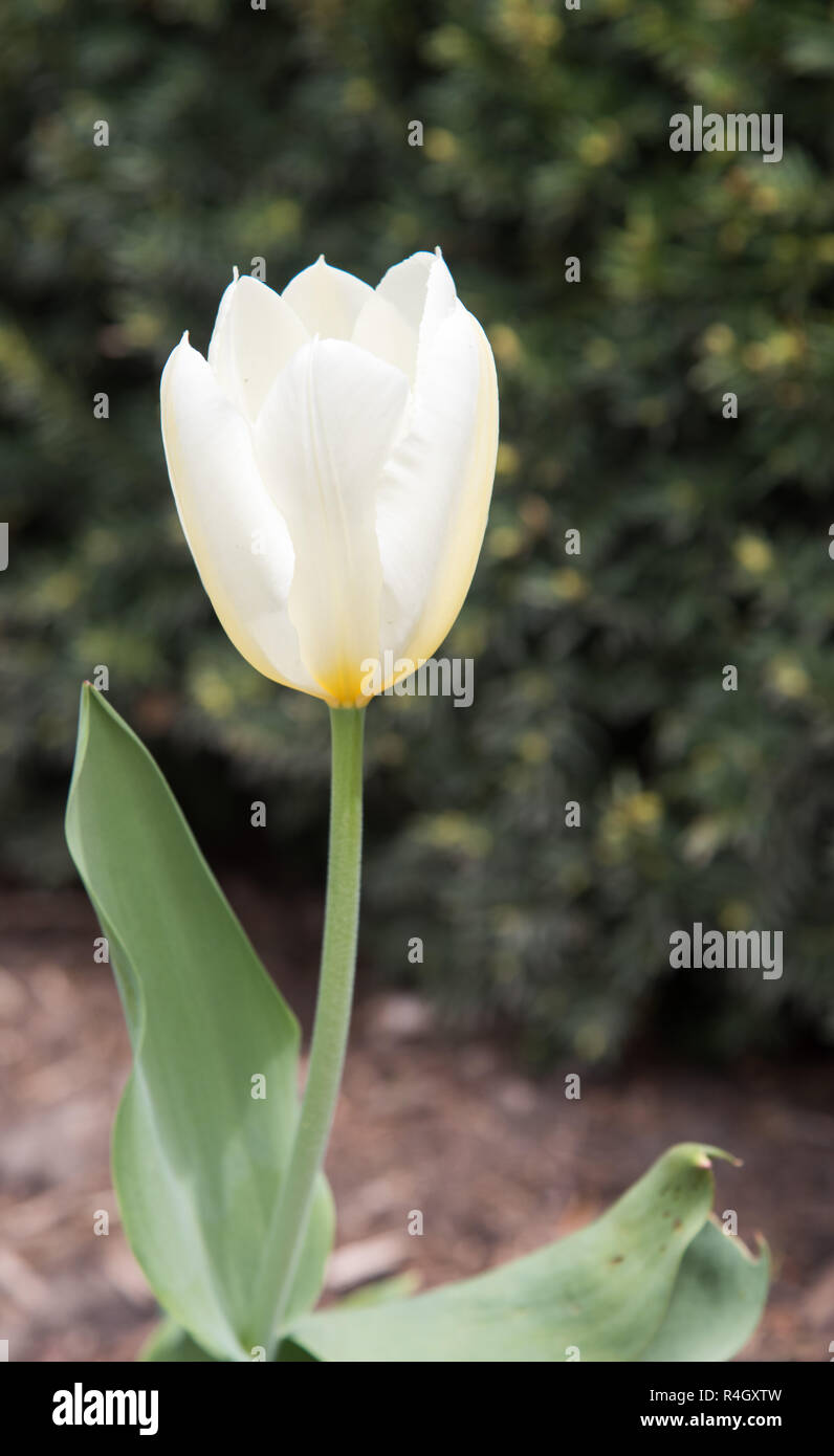 White And Yellow Tulip Growing In An Outdoor Garden During