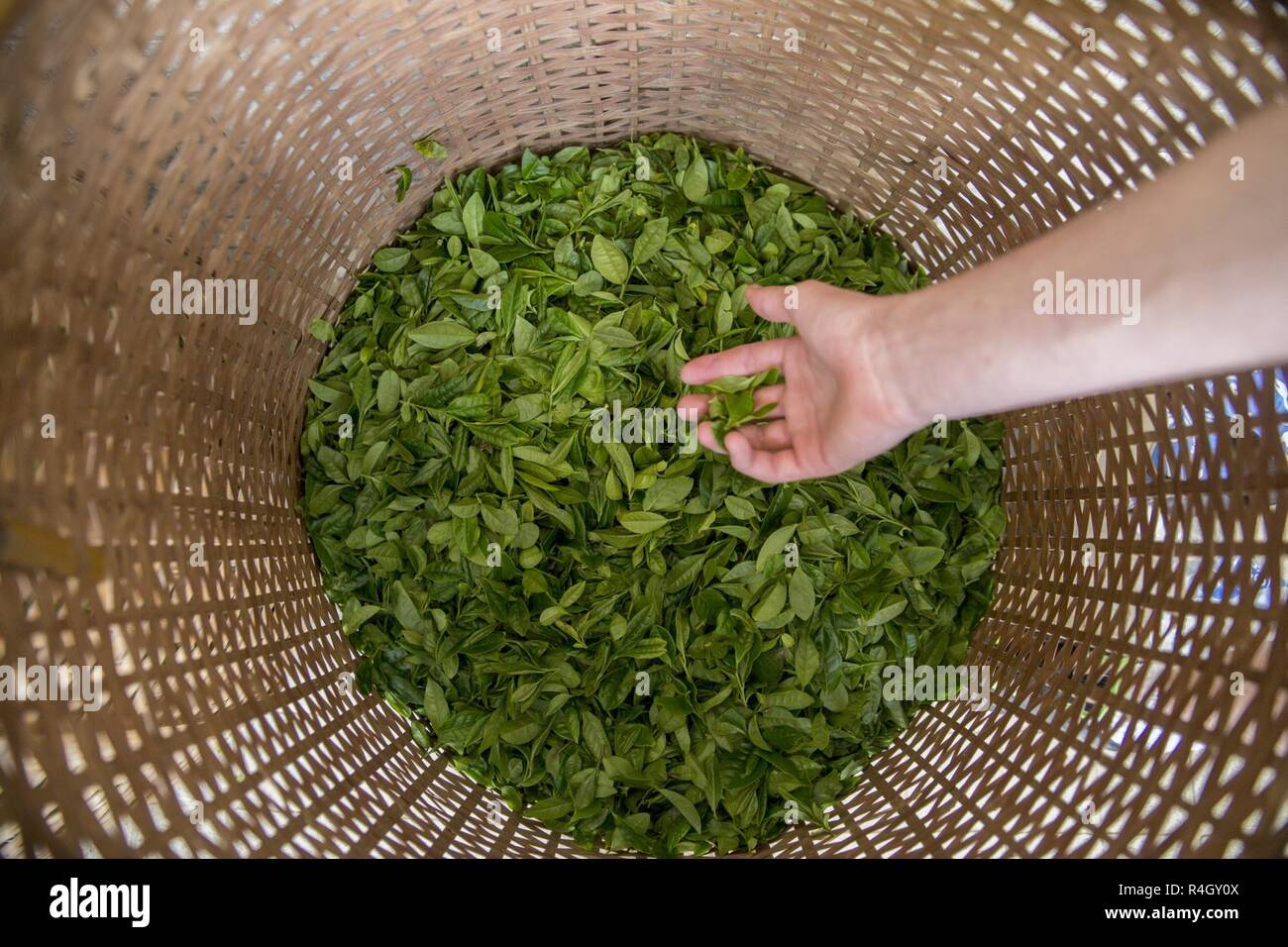 A basket is filled with green tea leaves during a Cultural Adaption Program tea harvesting event in Iwakuni City, May 2, 2017. The Cultural Adaptation Program gave Marine Corps Air Station Iwakuni residents the opportunity to experience the Japanese culture alongside elementary and high school students, nursing home residents and other Japanese locals. - Stock Image