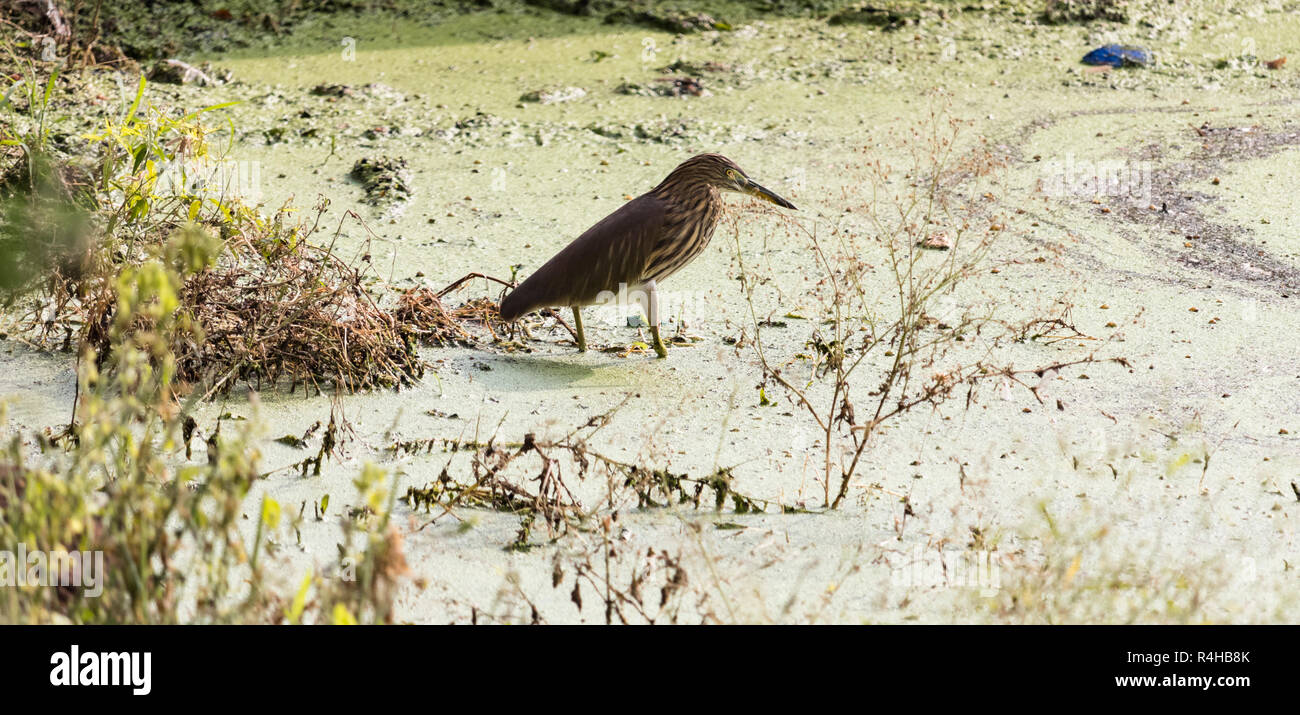 A green heron is seen in search of food - Stock Image