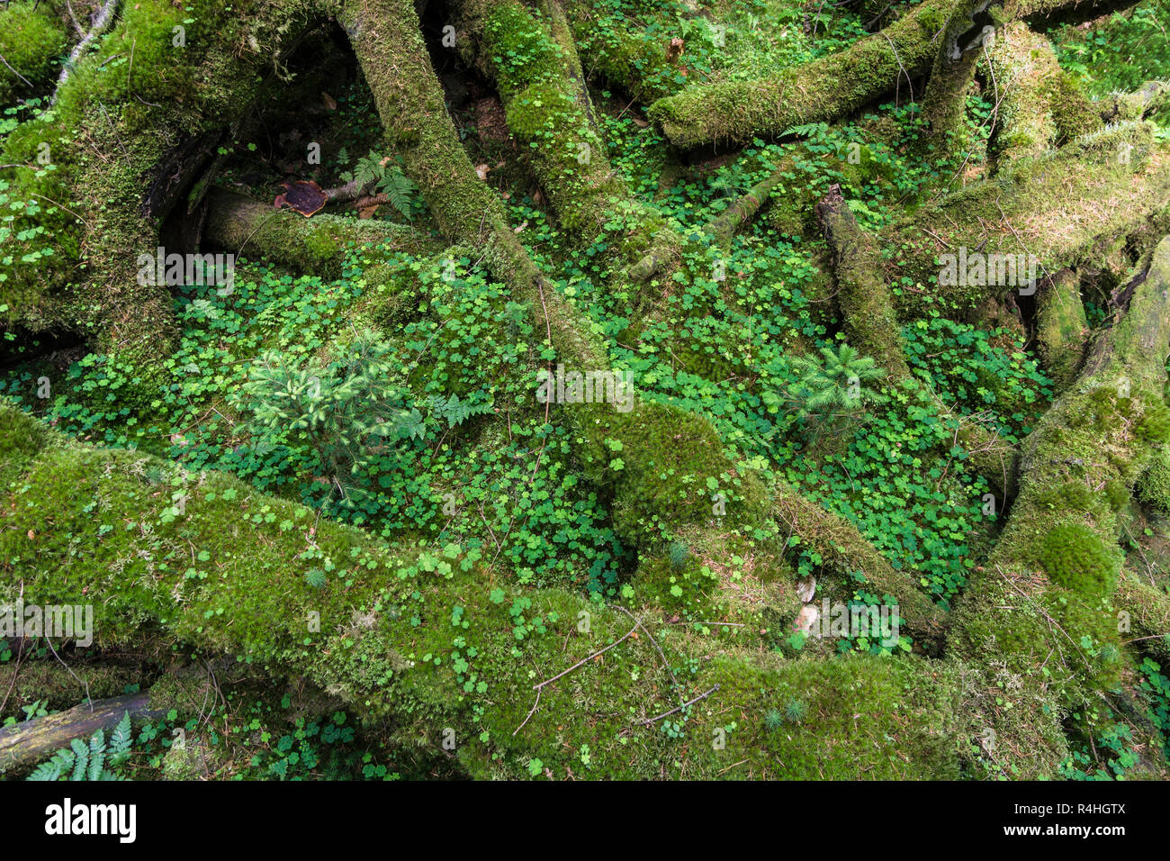 Totholzbiotop, Young growth on mustiness wood, Junger Bewuchs auf Moderholz - Stock Image