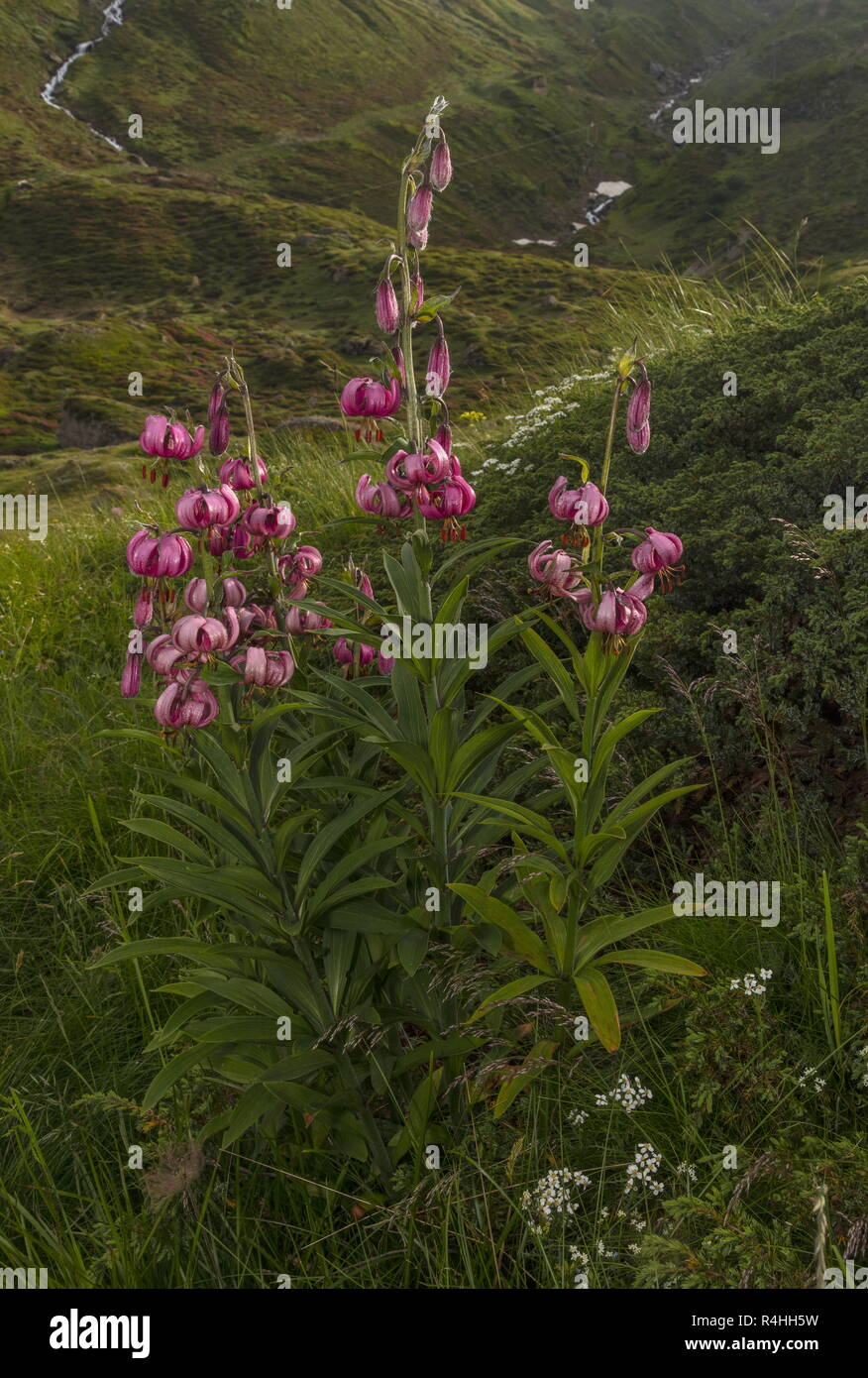 Martagon lily, Lilium martagon in flower in high pastures on the Nufenen Pass, Swiss Alps. Stock Photo