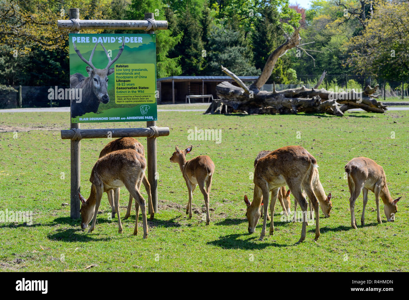 Eld's Deer (Rucervus eldi), Blair Drummond Safari Park, near Stirling, Scotland, UK - Stock Image