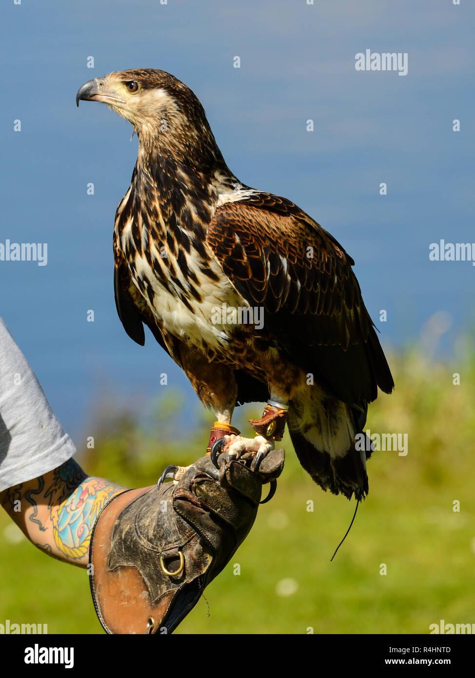 Bird Handler Stock Photos Bird Handler Stock Images Alamy