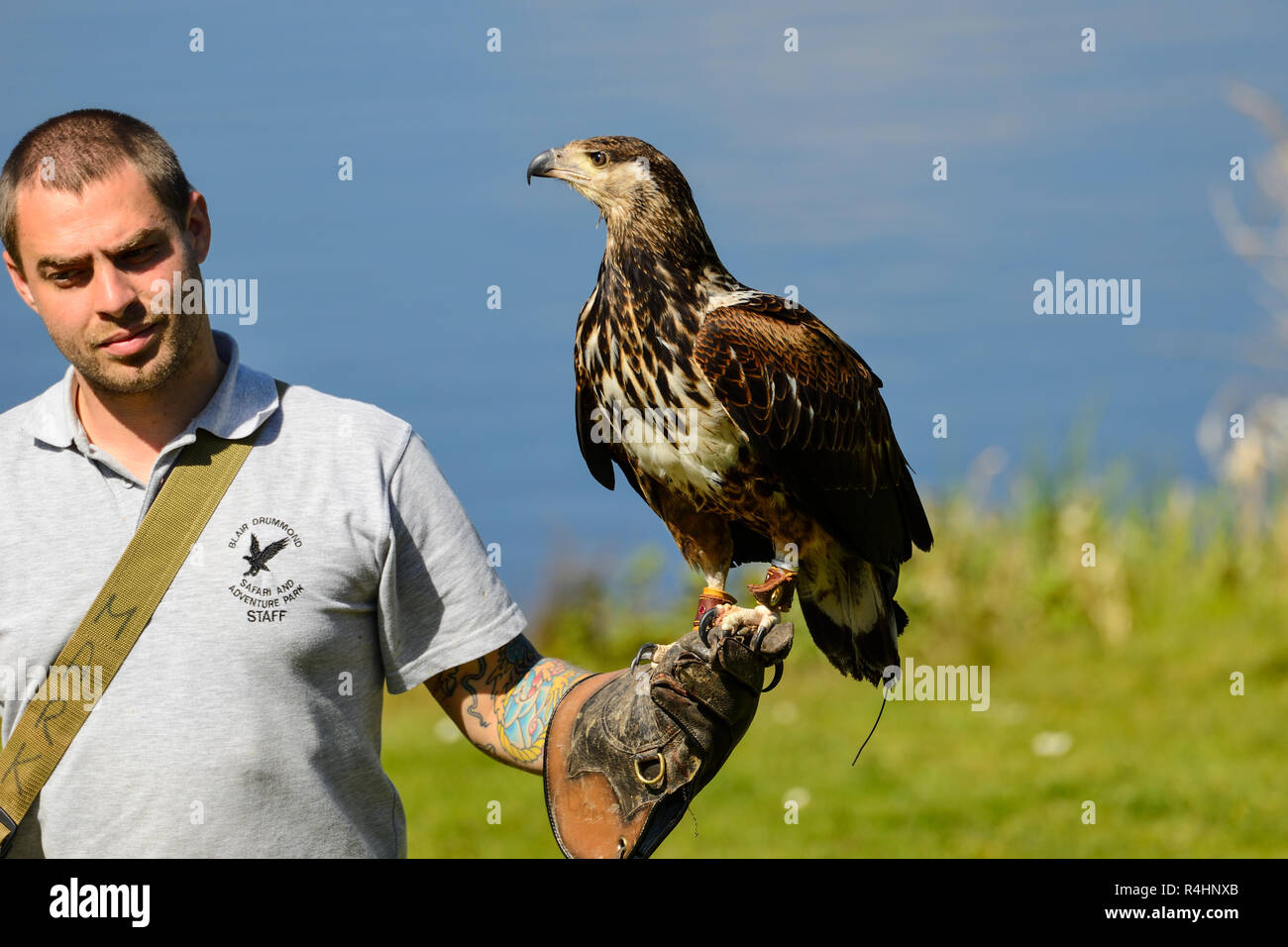 Red Tailed Hawk (Buteo jamaicensis) with handler at birds of prey flying display at Blair Drummond Safari Park, near Stirling, Scotland, UK - Stock Image