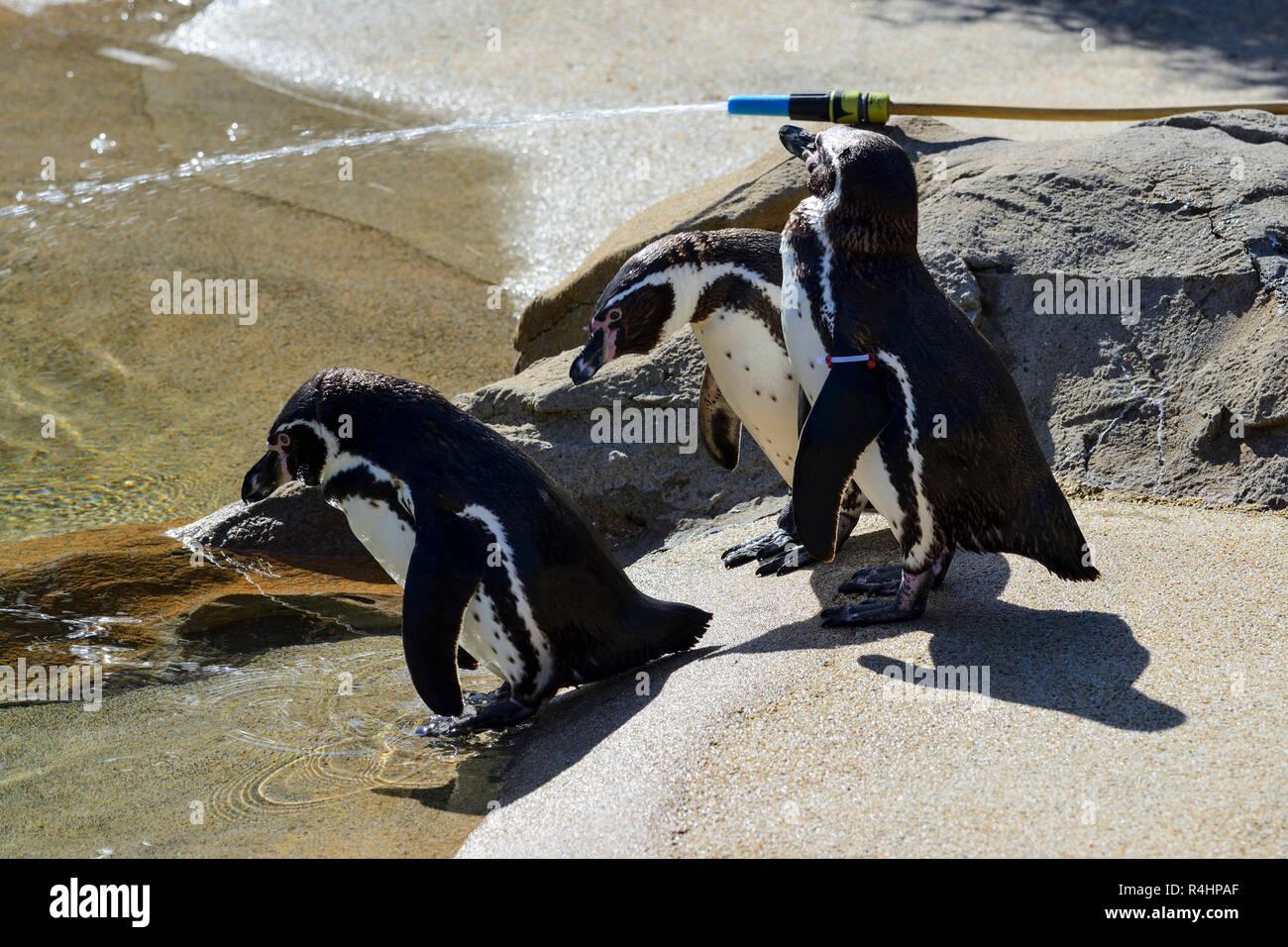 Humboldt Penguins (Sphensicus humboldti), Blair Drummond Safari Park, near Stirling, Scotland, UK - Stock Image