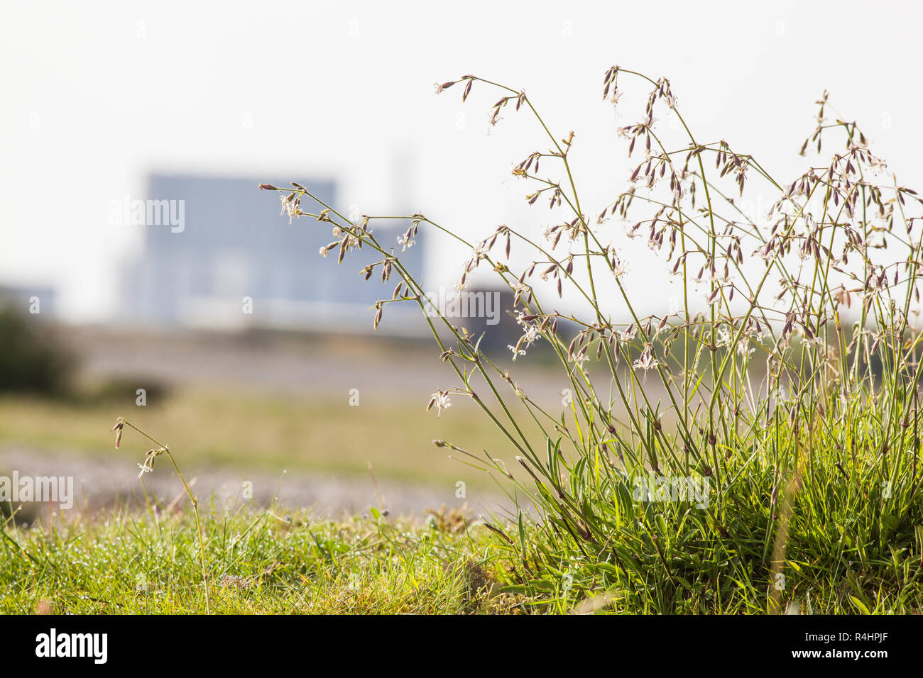 Nottingham Catchfly (Silene nutans) on Dungeness, Kent UK. EDF Nuclear power station in the background - Stock Image