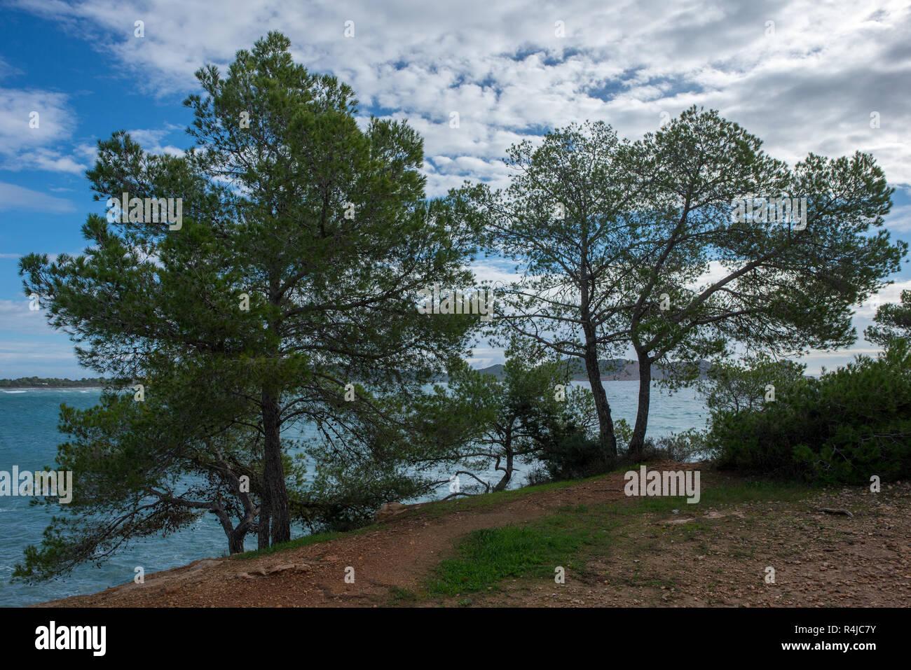 Tree next to the coast of Cala Sa caleta, Ibiza, Spain - Stock Image
