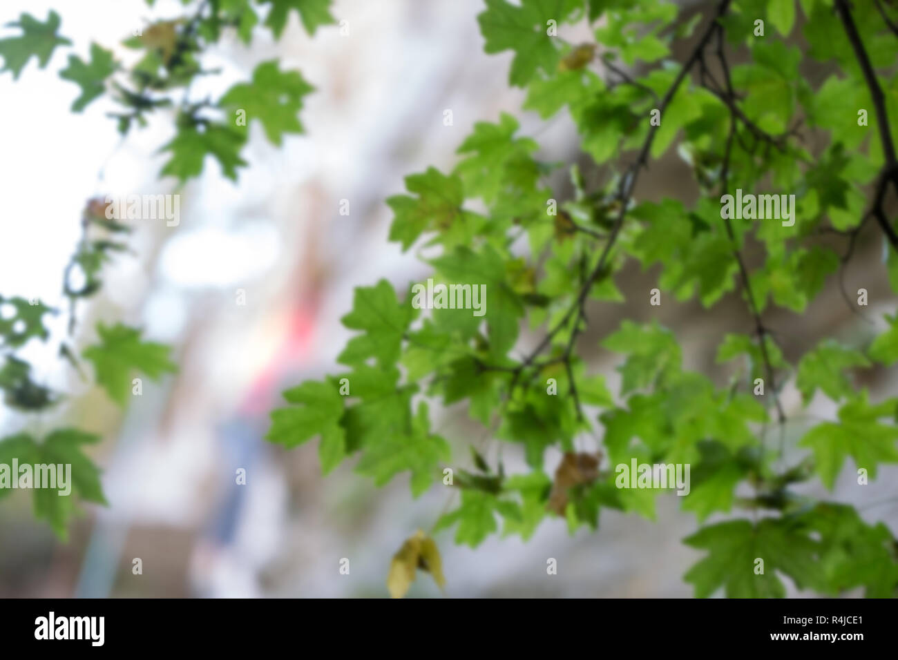Photo of maple leaves on blurred background summer - Stock Image