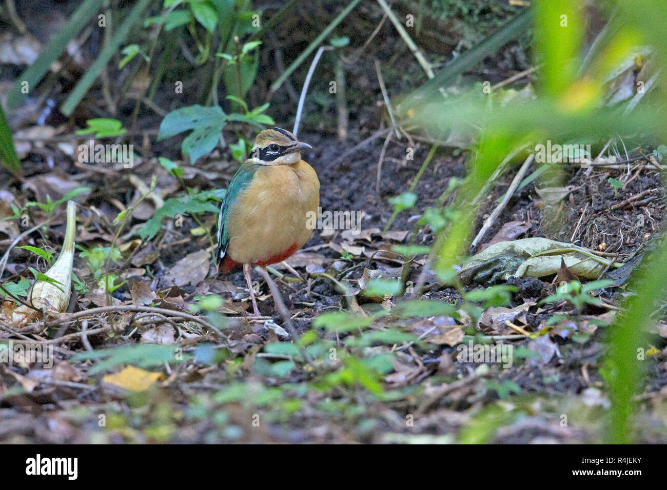 Indian Pitta (Pitta brachyura) - Stock Image