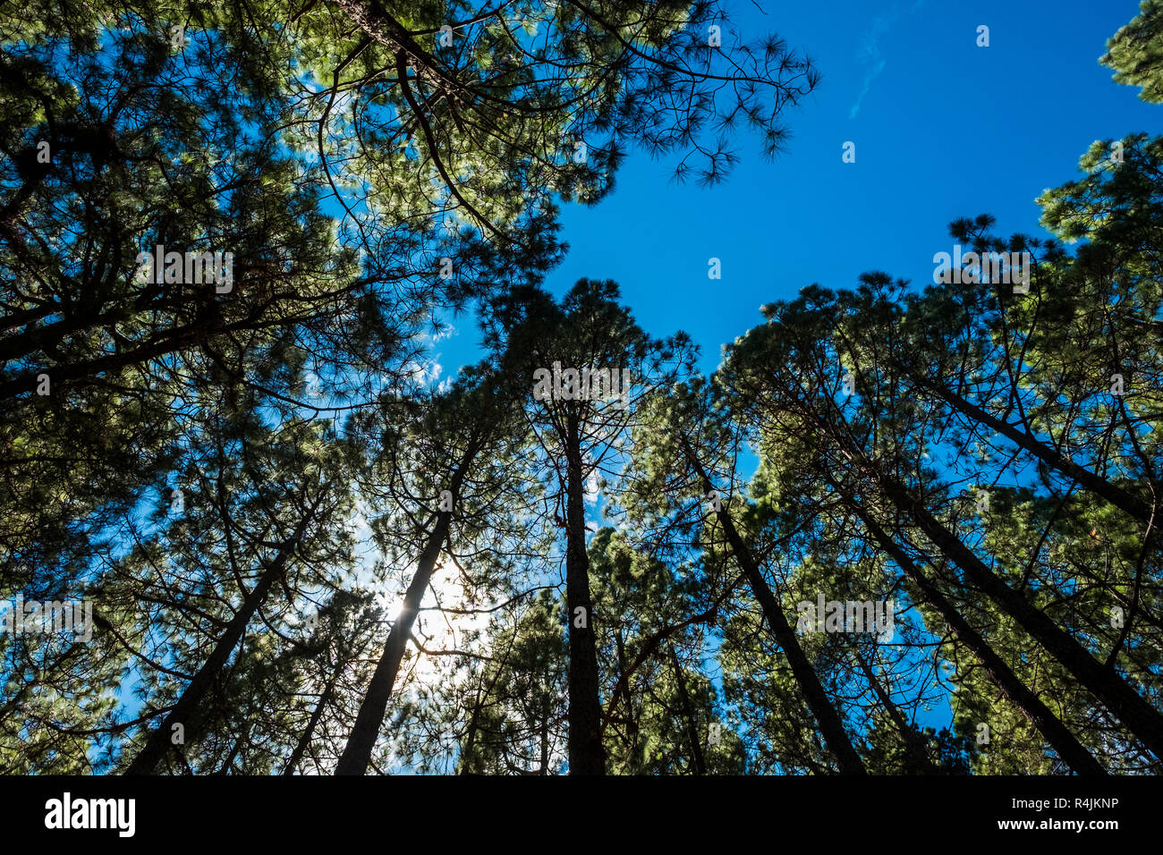 Ground view to the top high pines in the forest with the sun and the sunlight in the middle of the leafs. igh trees nature outdoor beauty concept Stock Photo