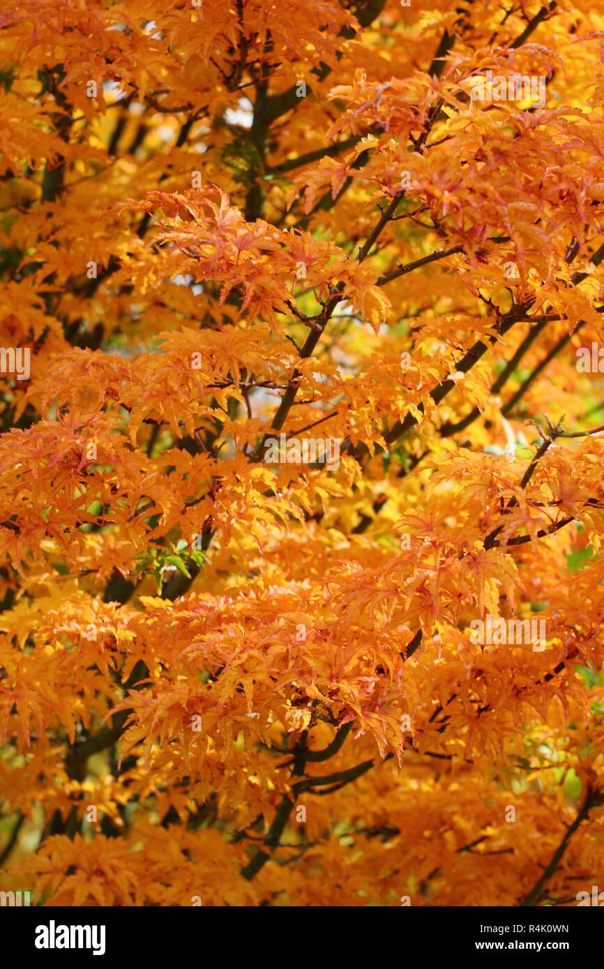 Acer Palmatum Leaf Autumn Close Up Stock Photos Acer Palmatum Leaf