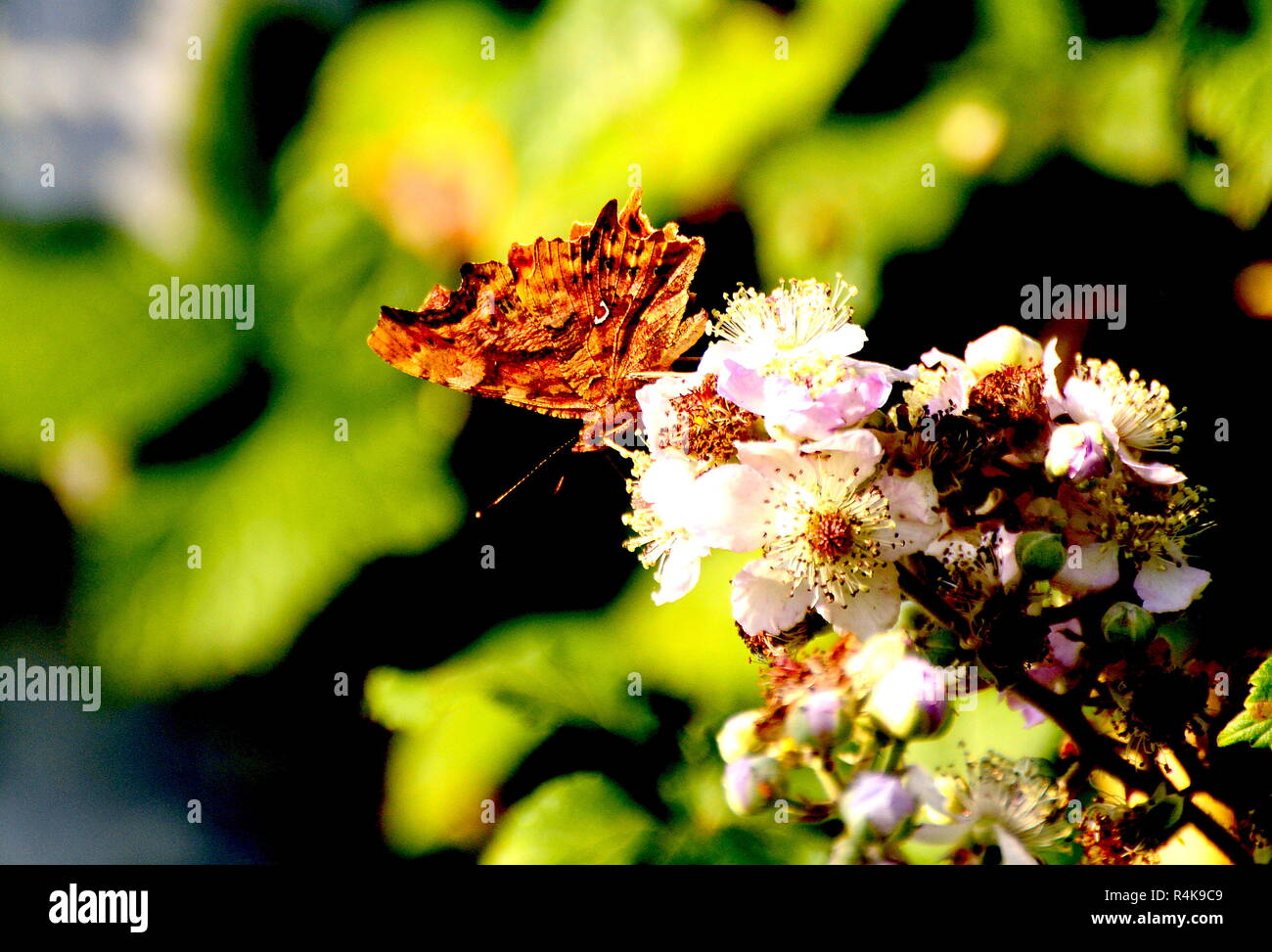Comma Butterfly, Underwing - Polygonia c-album - Stock Image