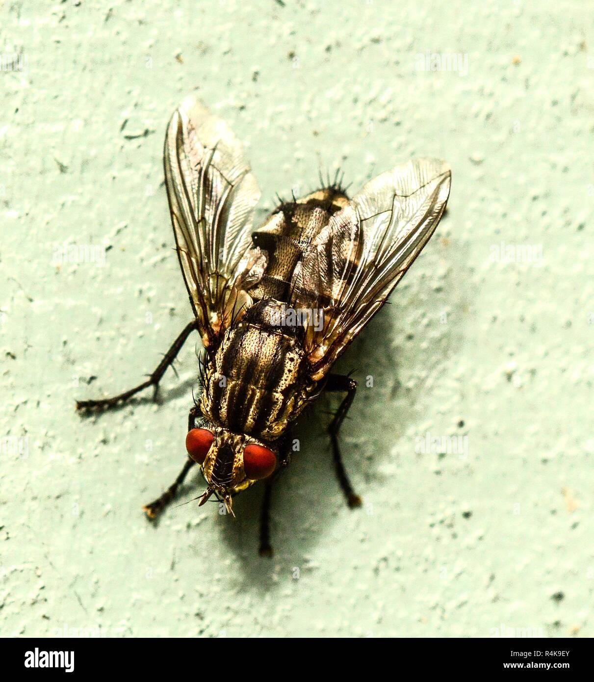 Flesh Fly - Diptera - Sarophaga carnaria Stock Photo
