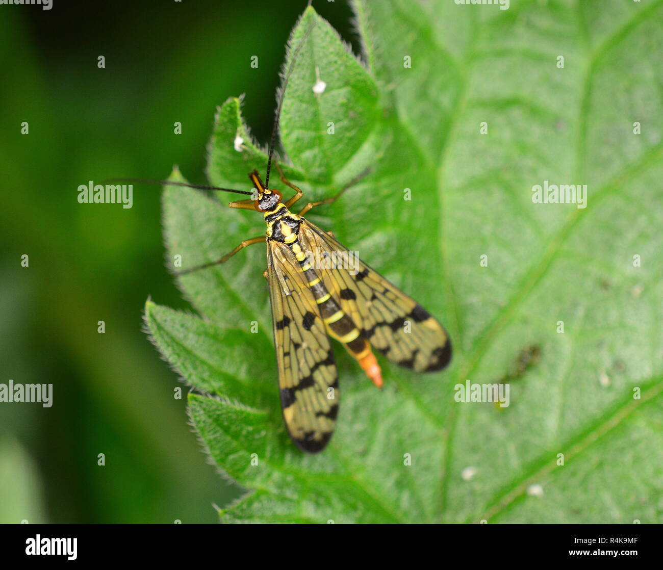 Scorpionfly Panorpa Communis, not a scorpion at all and certainly not going to sting - Stock Image