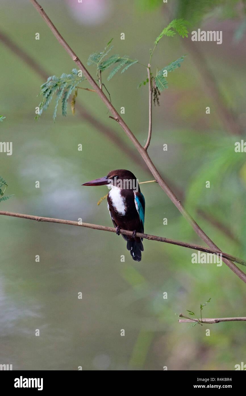 White-throated Kingfisher (Halcyon smyrnensis) Sri Lanka LK Asia November 2018 - Stock Image