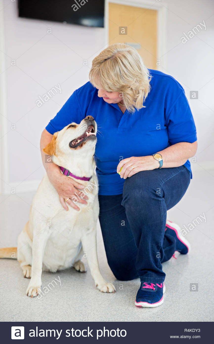 Labrador pet dog with vet in surgery - Stock Image
