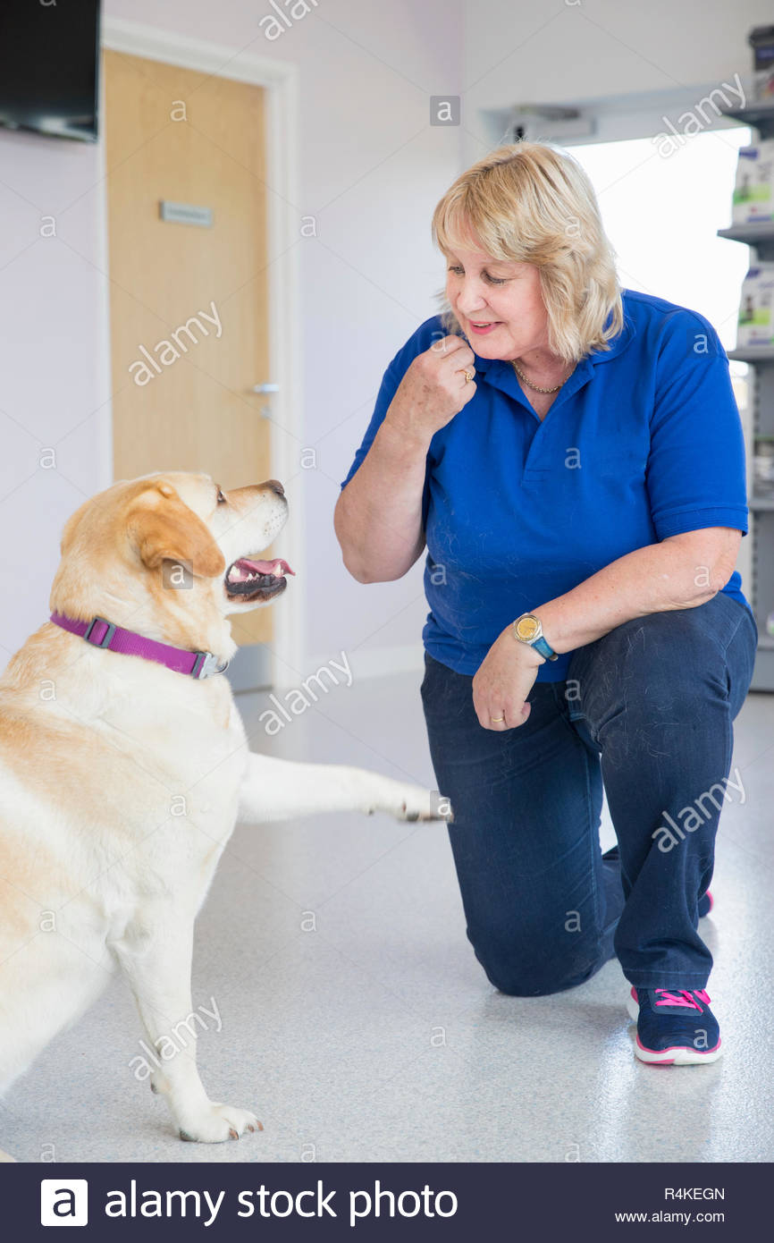 Obedience training labrador dog with ball in vet surgery - Stock Image
