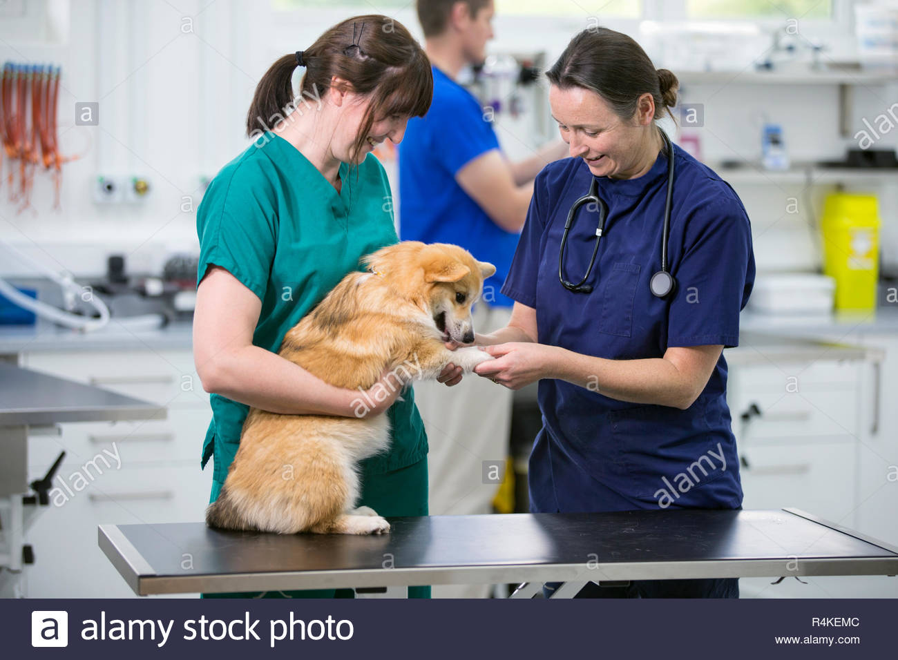 Nurse and vet examining pet dog on table in vet surgery - Stock Image
