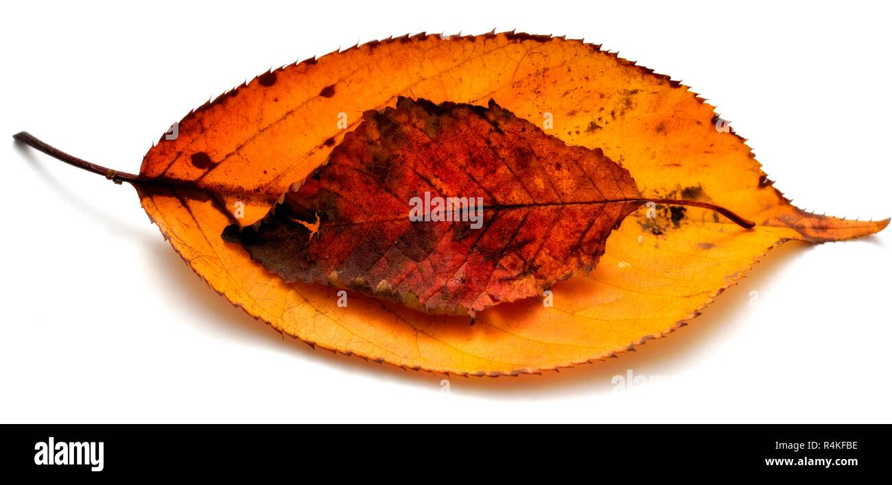 Autumn leaves, isolated, on a white studio background - Stock Image