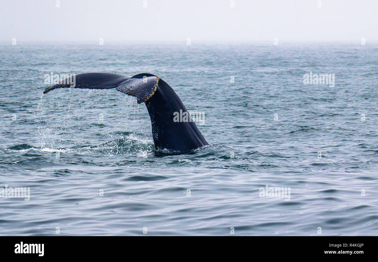 Tail fin of a humpback whale diving on Pacific coast, Monterey, California Stock Photo