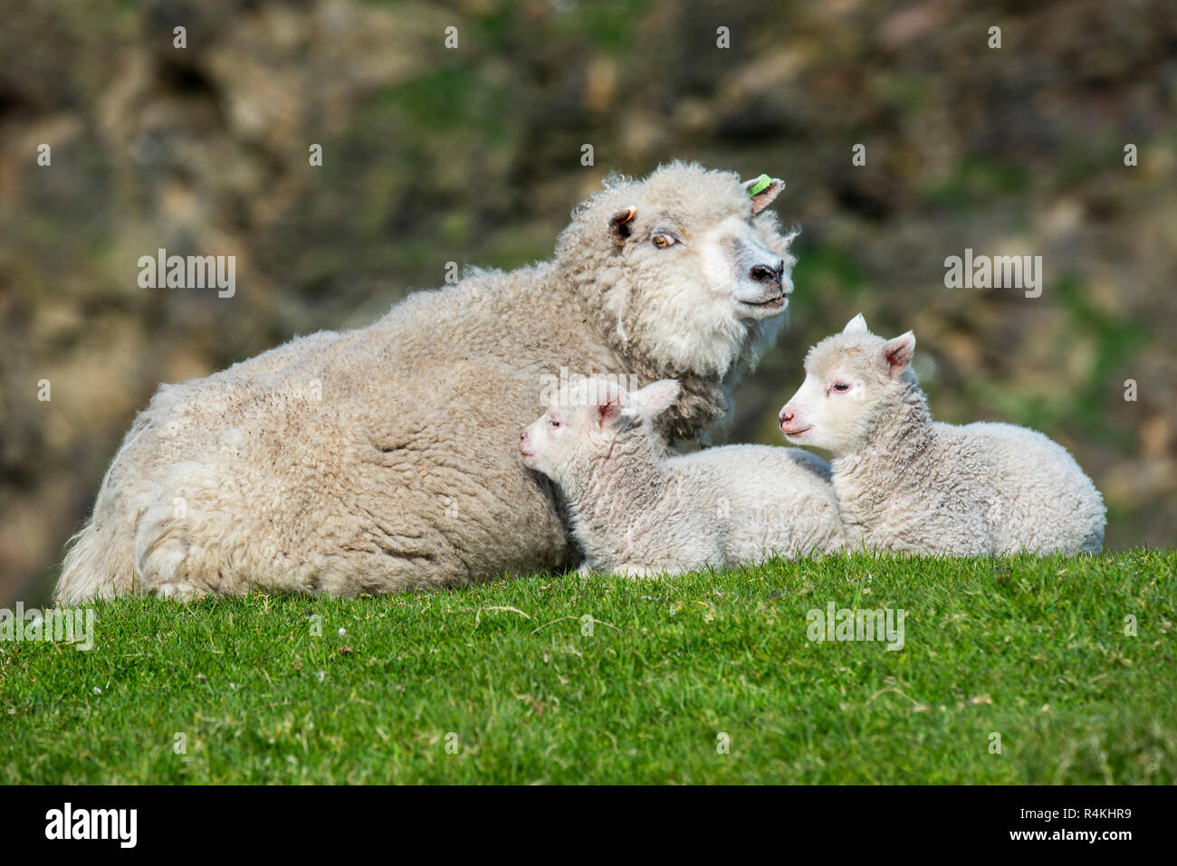 White sheep ewe with two lambs resting on sea clifftop, Scottish Highlands, Scotland, UK - Stock Image