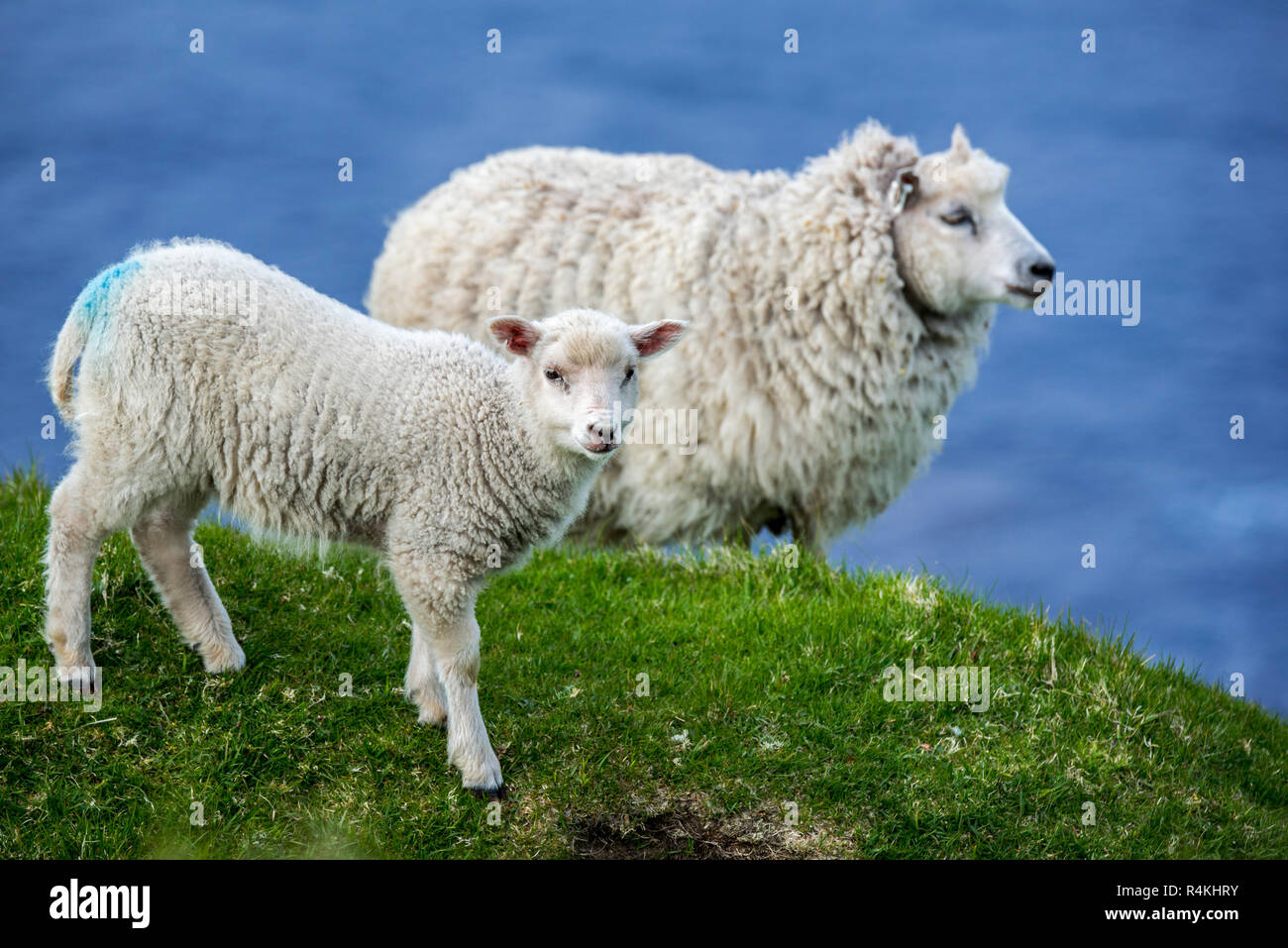 White sheep ewe and lamb on sea clifftop at Hermaness National Nature Reserve, Unst, Shetland Islands, Scotland, UK - Stock Image