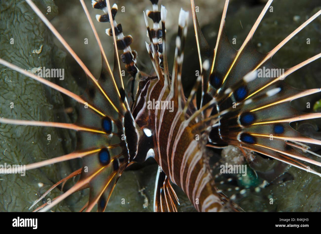 Spotfin Lionfish, Pterois antennata, Coconut Point dive site, off Reta Island, near Alor, Indonesia - Stock Image