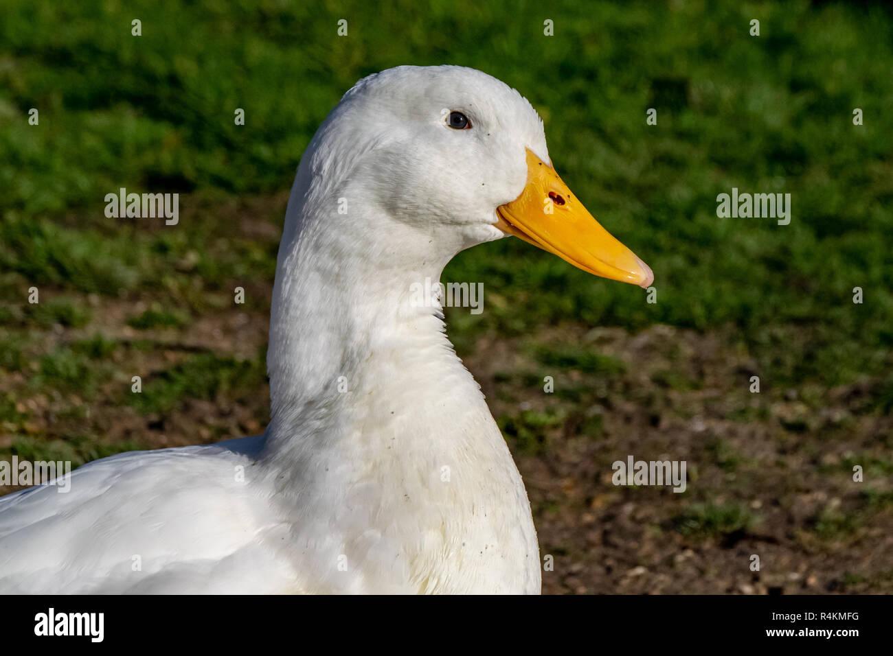 Portrait of heavy white American Pekin Duck - Stock Image