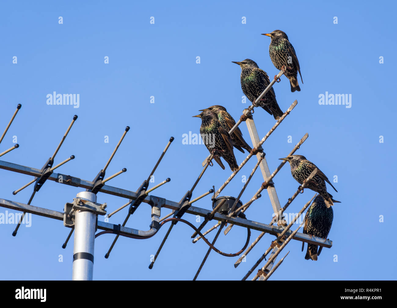 Common Starlings (Sturnus vulgaris) perched on a TV aerial (television antenna) in Autumn with blue sky in West Sussex, England, UK. - Stock Image