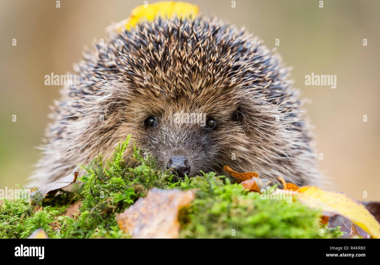 Hedgehog, Erinaceus Europaeus. Wild, native hedgehog, peering over the top of green moss. Facing forward. Blurred background.  Landscape, Horizontal. - Stock Image