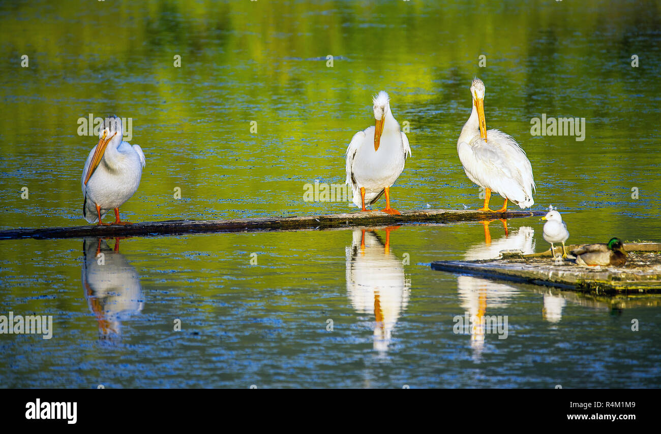 Pelicans at Scout Island Nature Center at Williams Lake British Columbia Canada - Stock Image