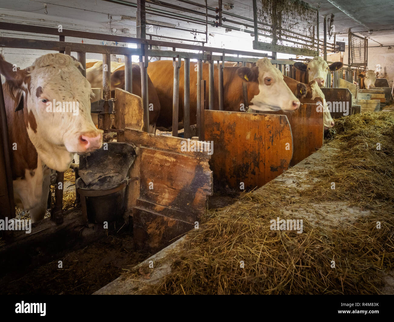 Milk cows in an rustic cowshed at a small austrian dairy farm weit for their feed - Stock Image