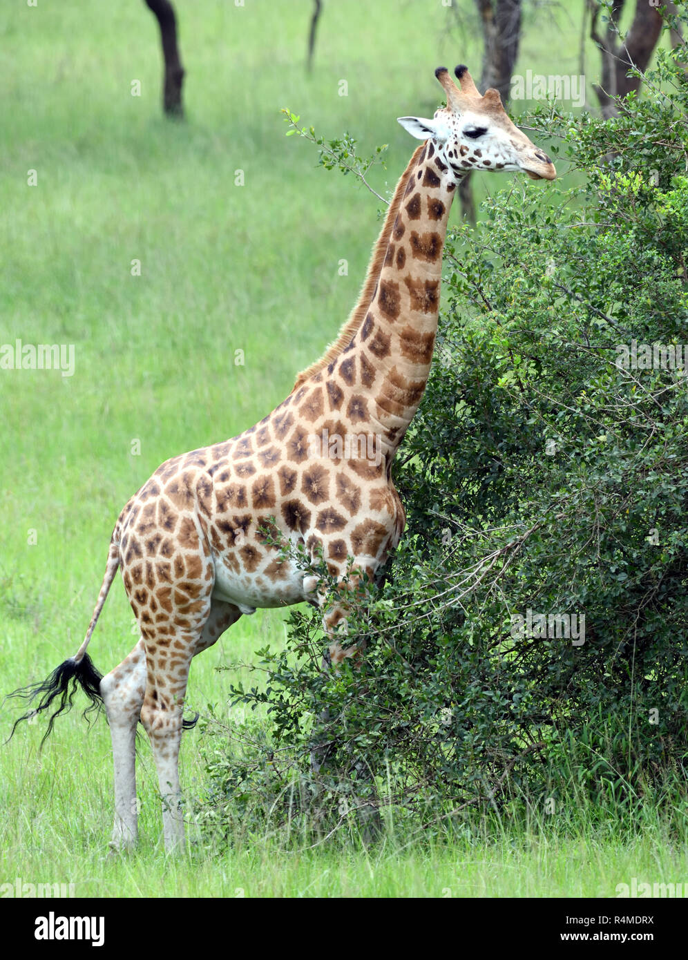 An endangered Rothschild's giraffe (Giraffa camelopardalis rothschildi) relocated for conservation purposes to the Queen Elizabeth National Park. Quee - Stock Image