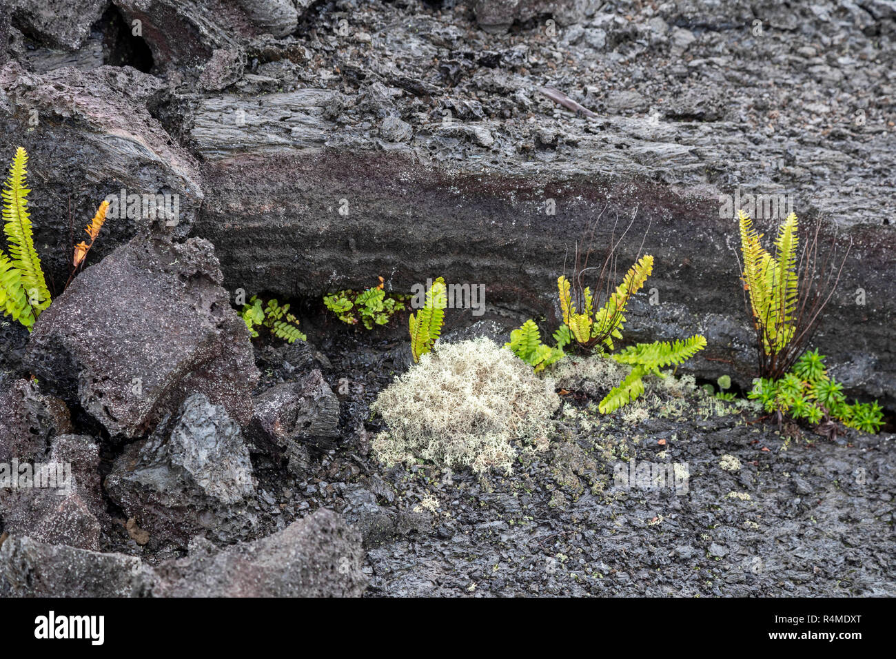 Hawaii Volcanoes National Park, Hawaii - Plants growing on an old lava flow from the Kilauea volcano. - Stock Image