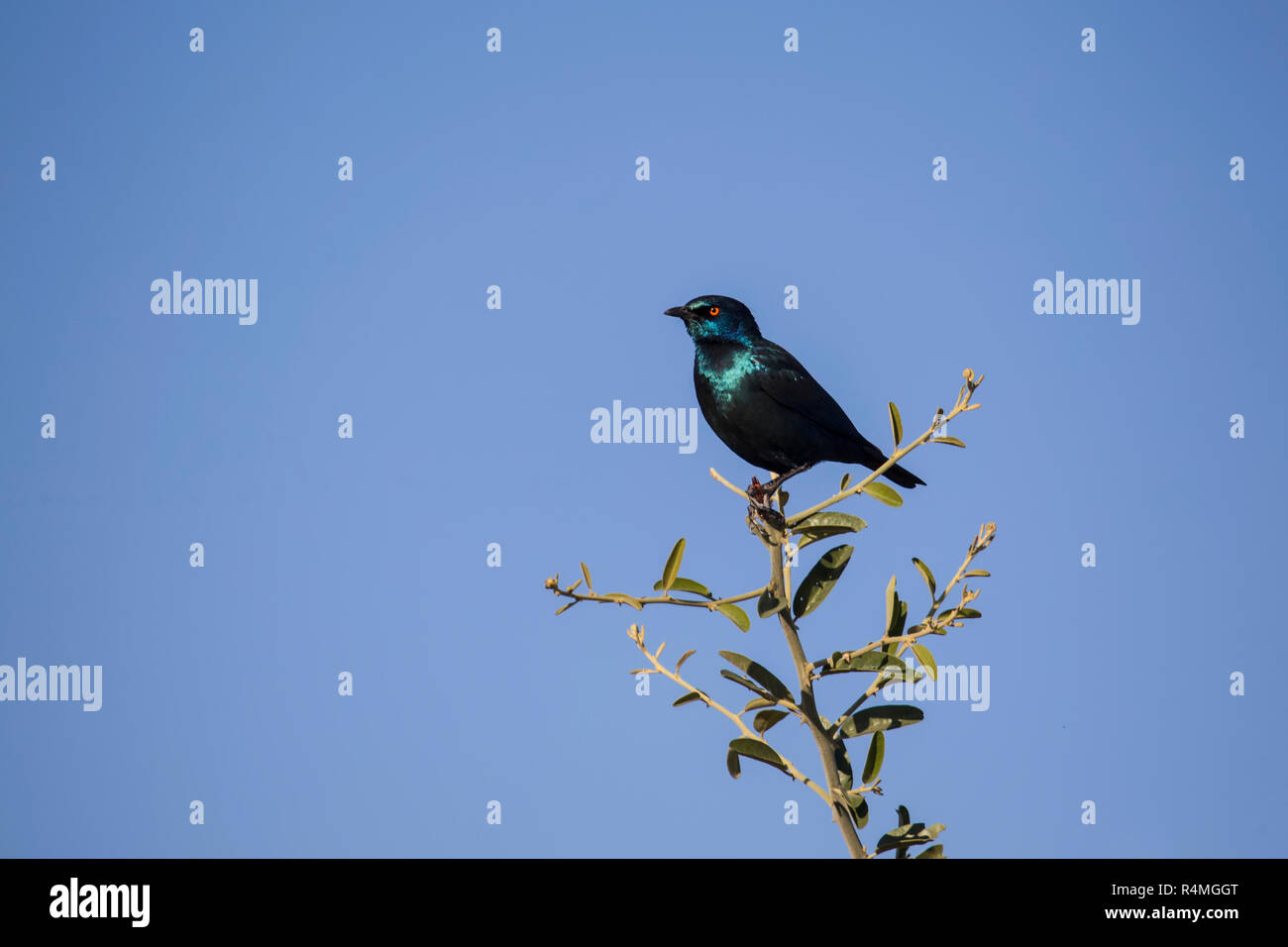 Cape Glossy Starling Lamprotornis nitens in profile at the top of a shrub against a clear blue sky - Stock Image