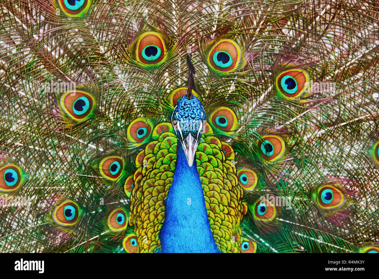 Portrait Of The Peacock - Stock Image