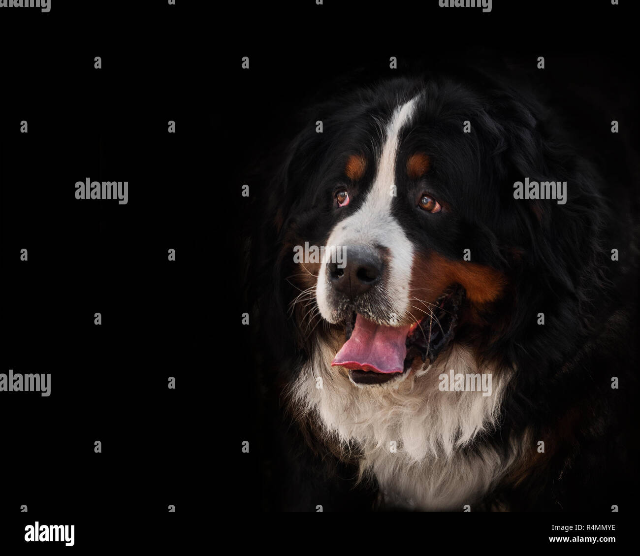 portrait of a purebred bernese mountain dog in front of black background, affable, close up - Stock Image
